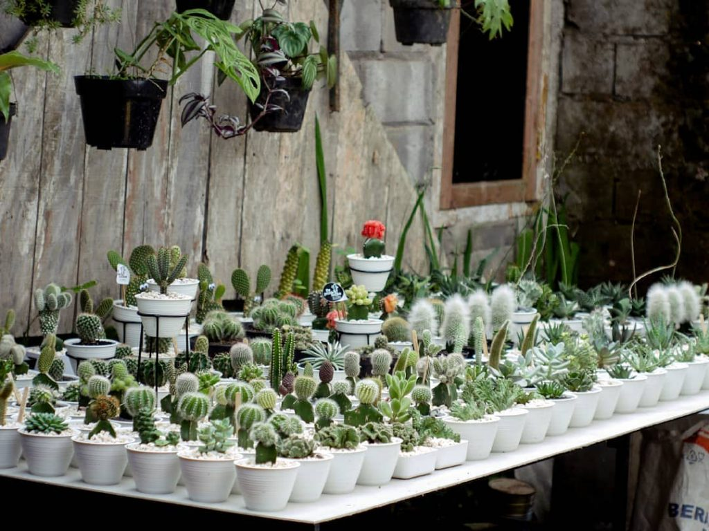 jual kaktus salatiga